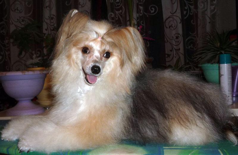 Щенки китайской хохлатой собаки