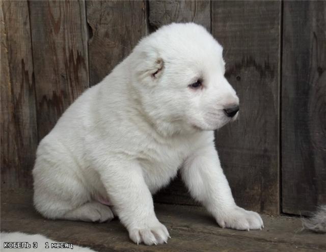 фото сао щенков